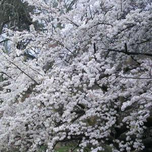 新宿御苑のソメイヨシノ