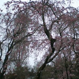 新宿御苑の枝垂桜