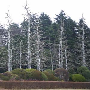 新宿御苑のポプラ
