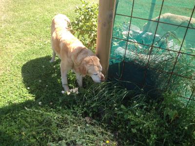 羊の国のラブラドール絵日記シニア!!「犬とガーデニングと私」2