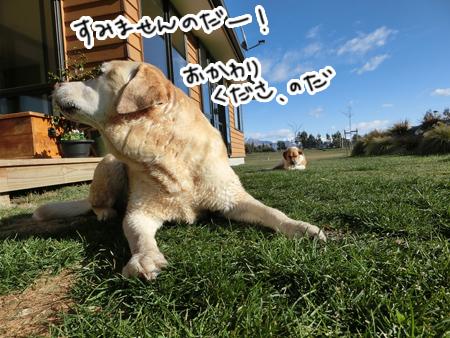羊の国のラブラドール絵日記シニア!!「色々なはじめて」写真6