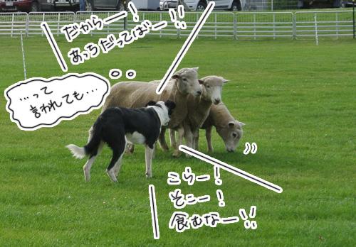 羊の国のラブラドール絵日記シニア!!「羊の国のシープドッグ・トライアル」2
