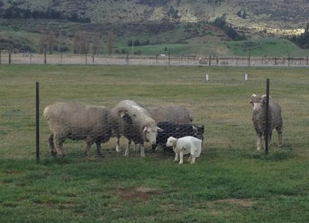 羊の国のラブラドール絵日記シニア!!「子羊チャンプ」5