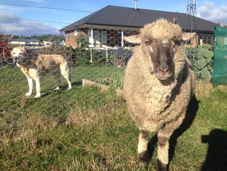 羊の国のラブラドール絵日記シニア!!「家族のサポート」写真1