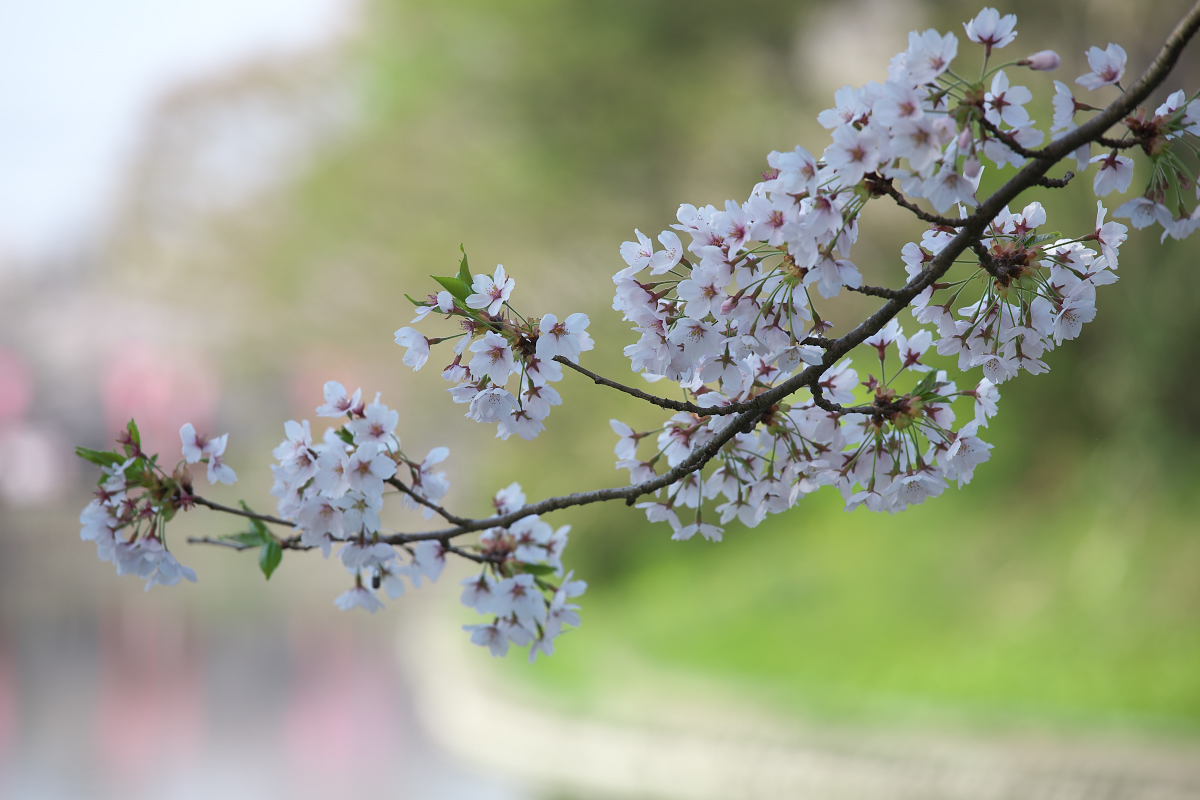 2015桜4257