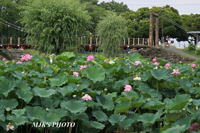lotus5338.jpg