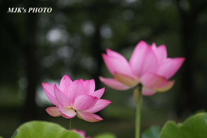 lotus5341.jpg