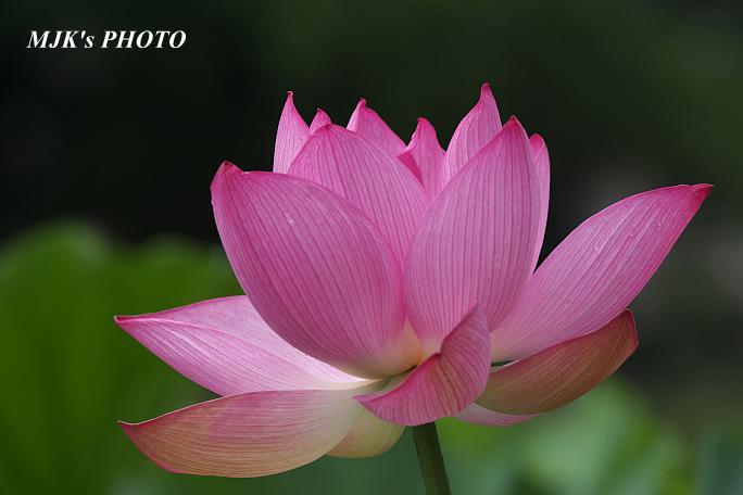 lotus5343.jpg