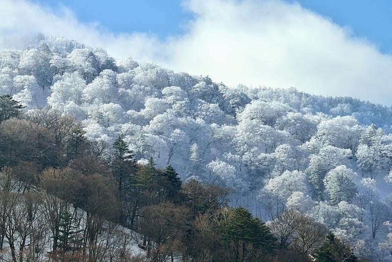 霧氷林輝く1 (徳島県剣山麓)