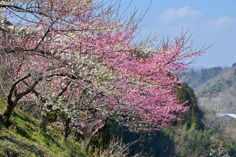 紅白梅2 (徳島県美郷)