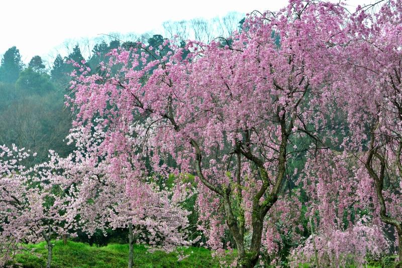 「吉良しだれ桜2」  (徳島県つるぎ町)