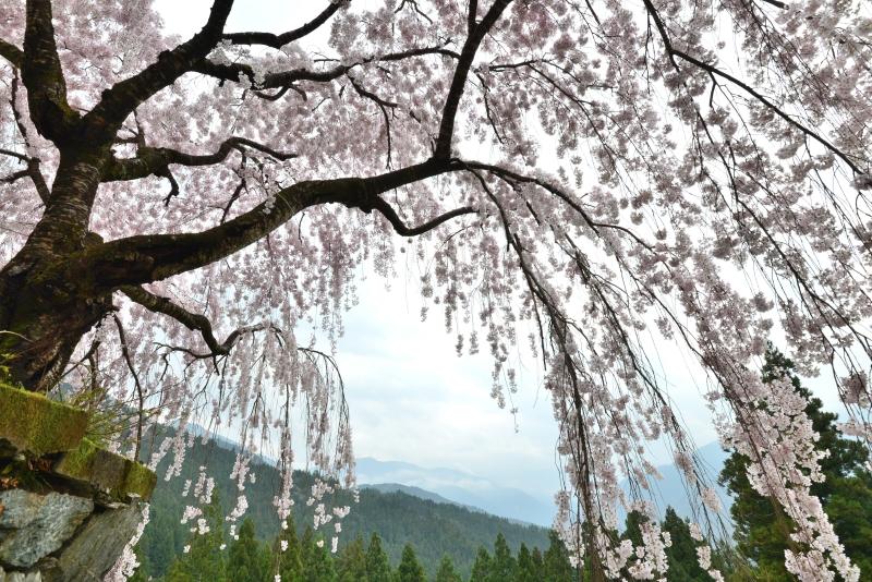 「木屋平しだれ桜2」  (徳島県木屋平)