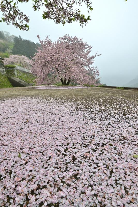 「釣鐘桜散る」   (徳島県美郷)