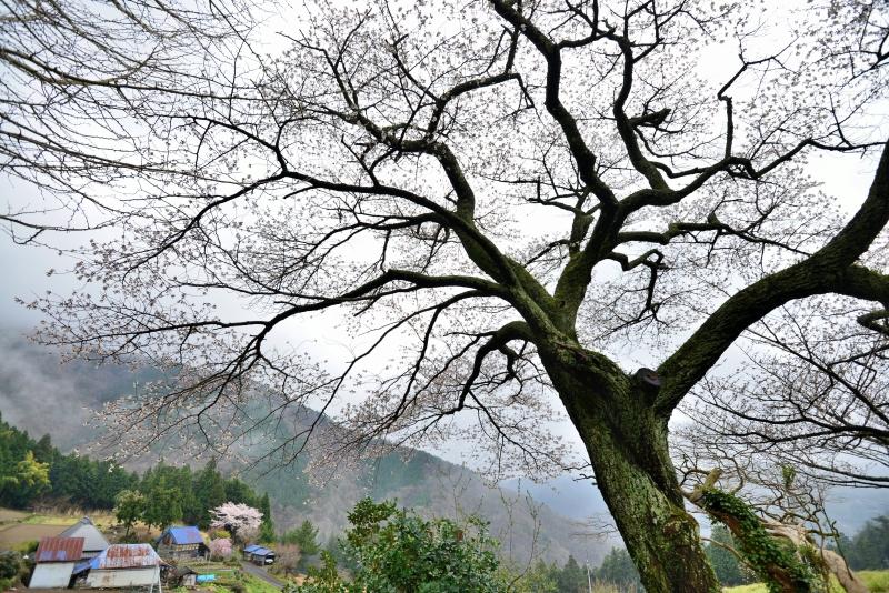 「霧湧く葛篭野一本桜2」  (香川県まんのう町)