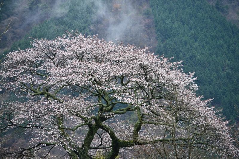 「葛篭野一本桜3」  (香川県まんのう町)