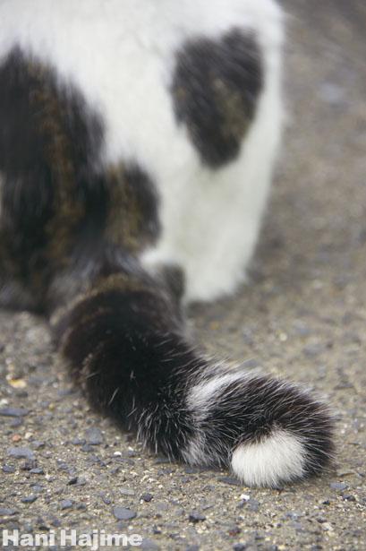 お尻が個性的なキジ白猫さん