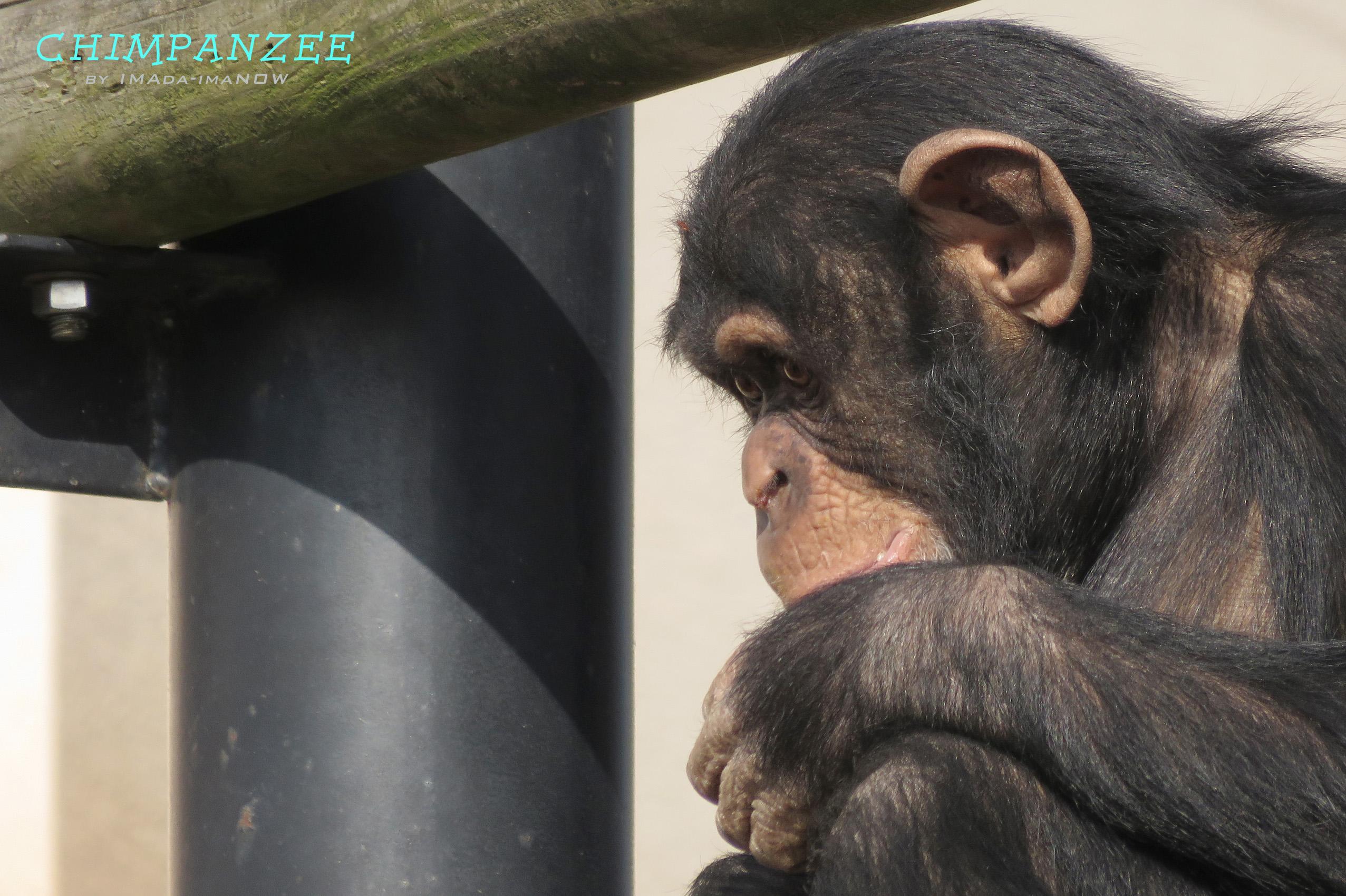 IMG_3968a チンパンジー