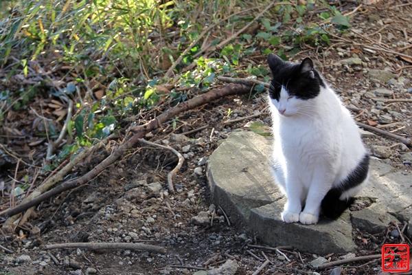 ニャポ旅3 鋸山猫