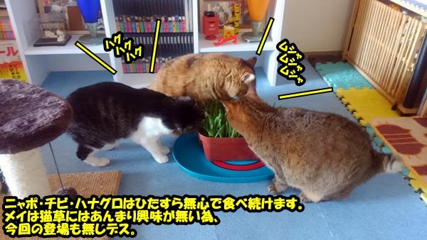 猫草 栽培