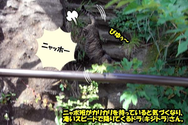 ニャポ旅9 鋸山猫
