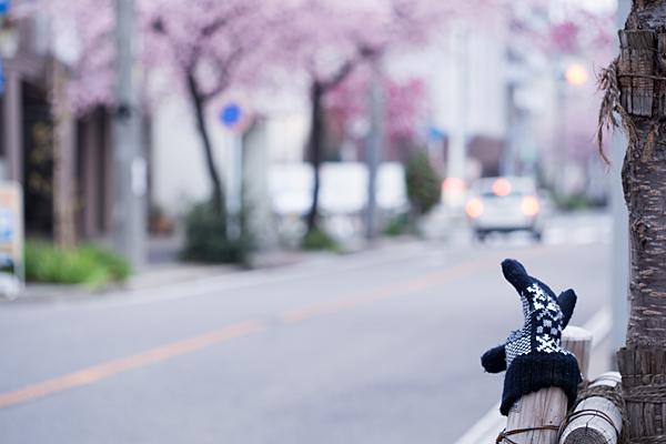 高岳桜-11