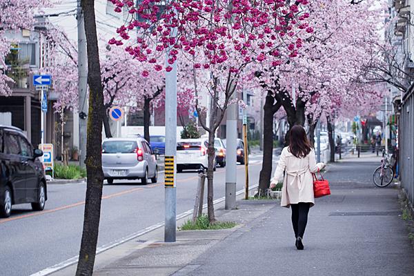 高岳桜-6