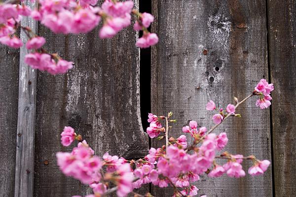 高岳桜-8