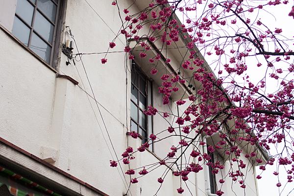 高岳桜2-1