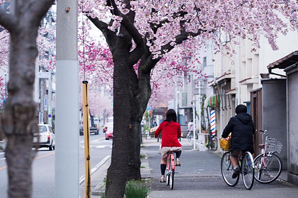 高岳桜2-12