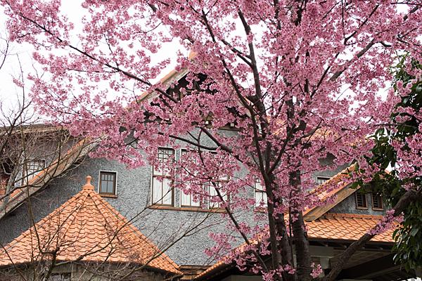 高岳桜2-2