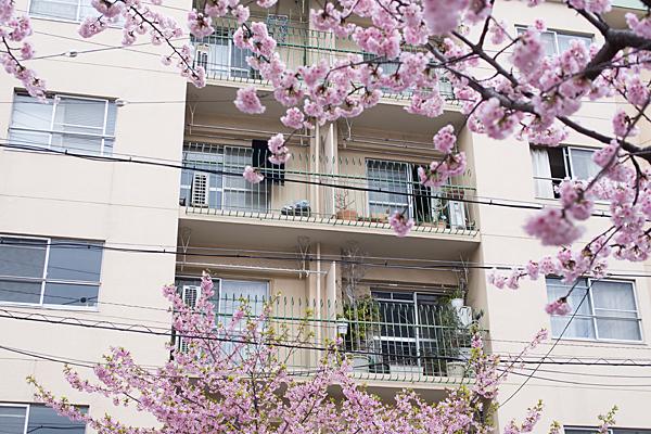 高岳桜2-3