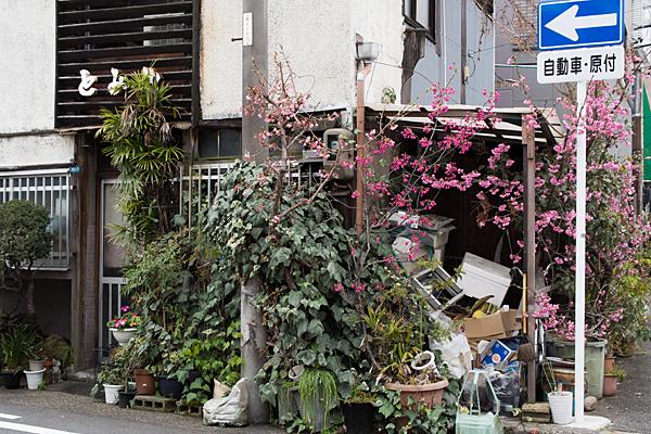 高岳桜2-4