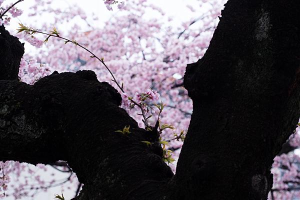 高岳桜2-8