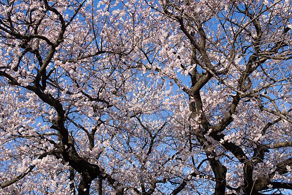 覚成寺桜-4