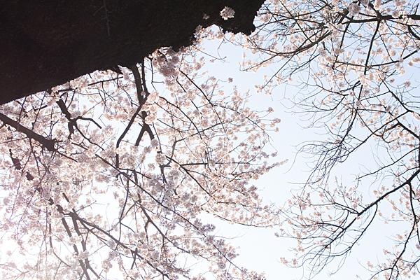 覚成寺桜-8