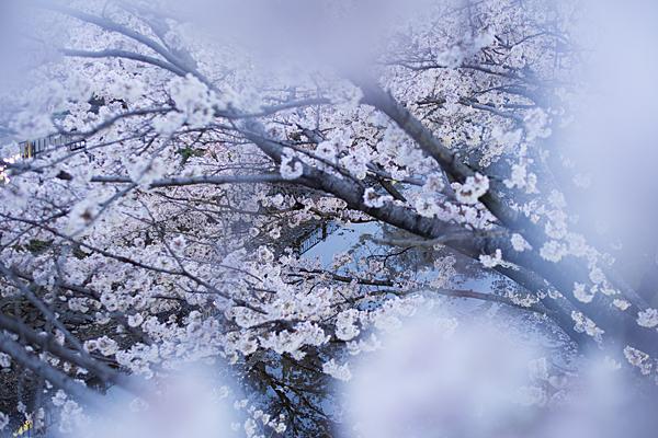 桜10-10