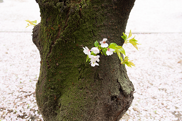 桜11-1