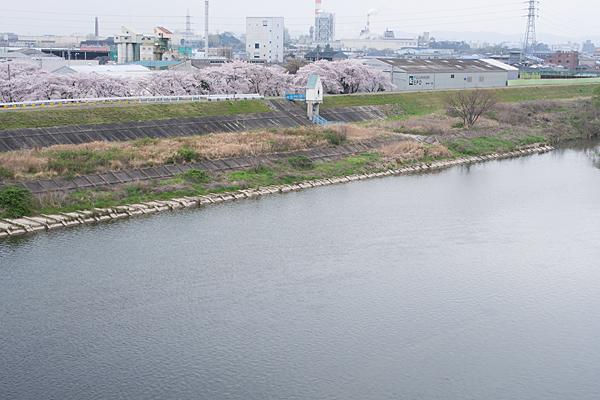 桜11-7