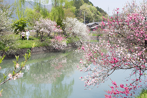 桂川のハナモモ風景
