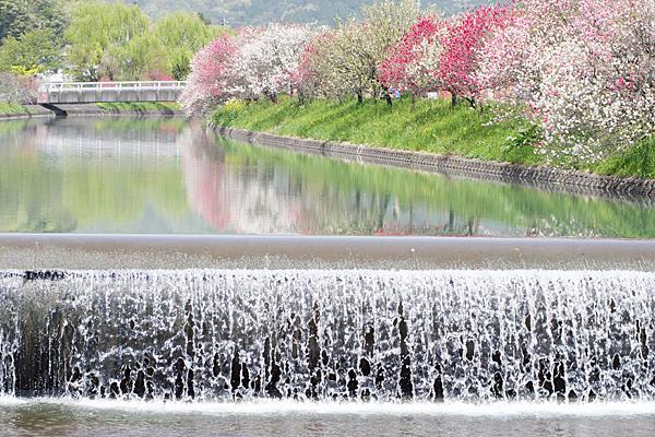 桂川花桃の風景