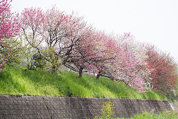 桂川花桃風景