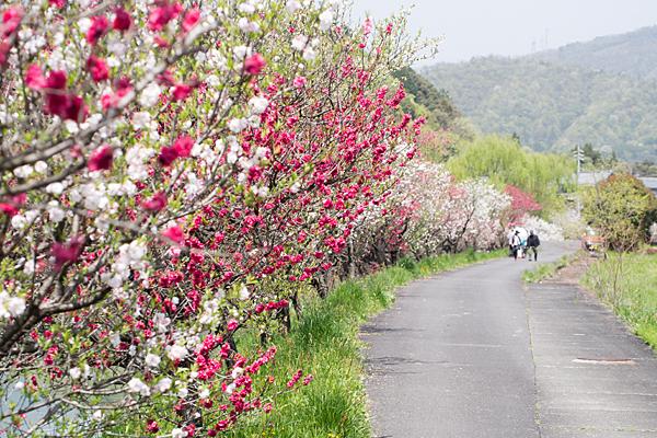 花桃の散策路