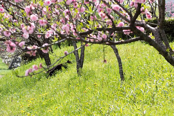 花桃と黒猫