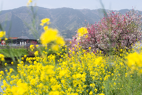 山と花桃と菜の花