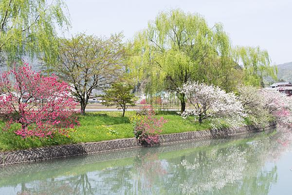 上流の桂川花桃風景