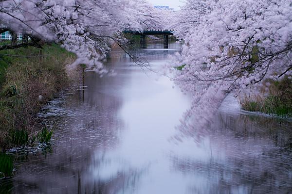 桜4-12