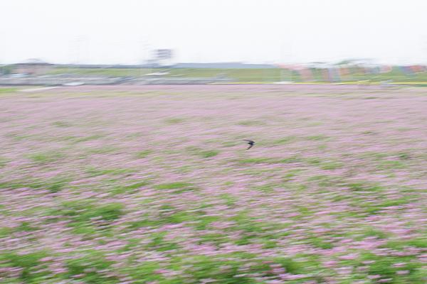 レンゲ畑-4