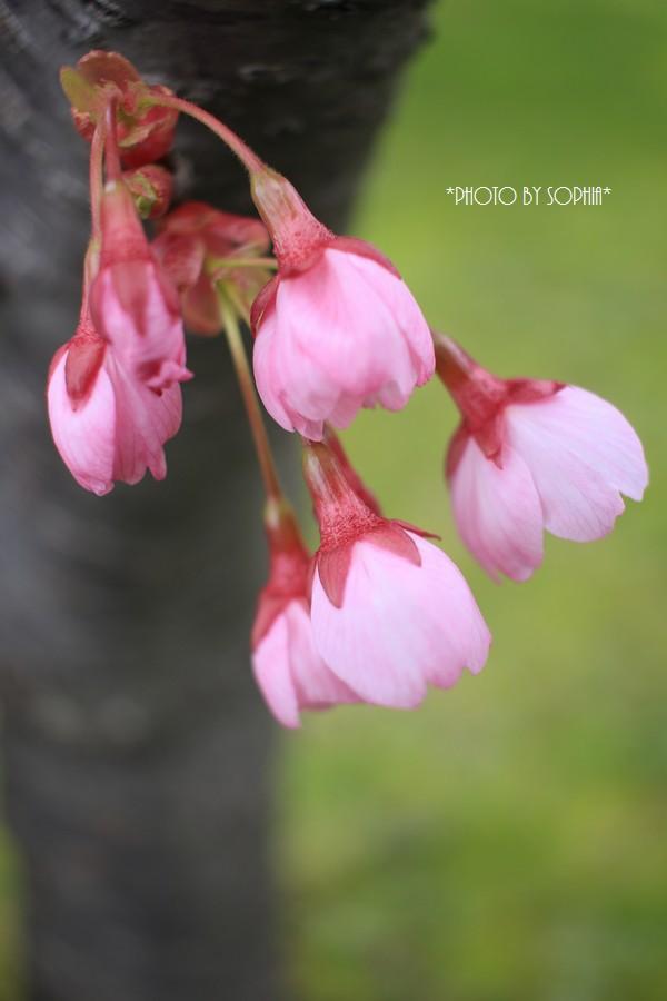 陽光桜・蕾