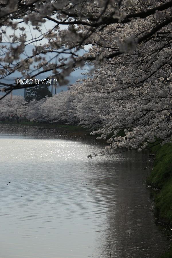 御濠の桜Ⅱ