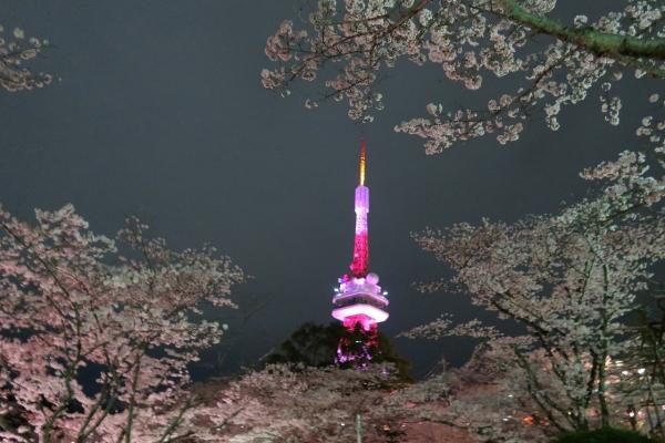 八幡山の桜